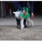 Fanta The Lamb