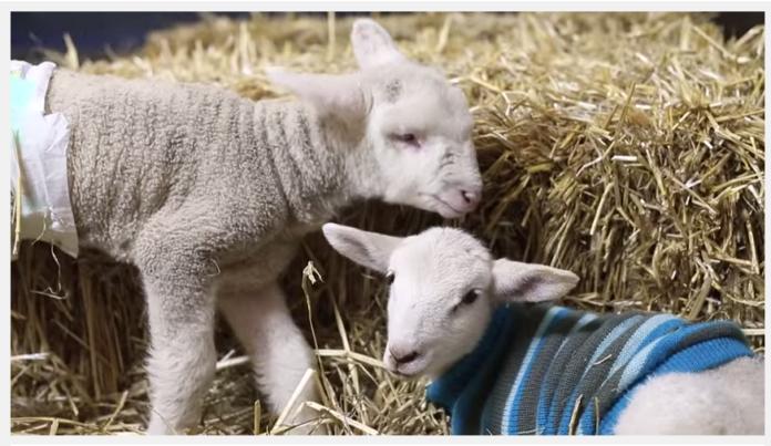 Fanta The Lamb Survives!